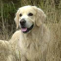 Males Golden Retrievers